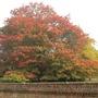 image Scarlet Oak. Quercus coccinia