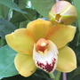 Yellow flowering Cymbidium  (Cymbidium)