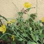 Horned Poppy (Glauceum flavum)
