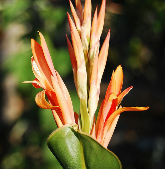 Canna altensteinii (Canna altensteinii)