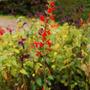 Salvia coccinea 'tall form' (Salvia coccineae)