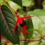 Fuchsia 'Lady Boothby' (Fuchsia)