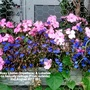 Busy Lizzies (Impatiens) & Lobelias on balcony railings (From outside) 2nd August 2017 001