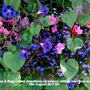 Lobelias_busy_lizzies_impatiens_on_balcony_railings_seen_from_outside15th_augiust_2017_001