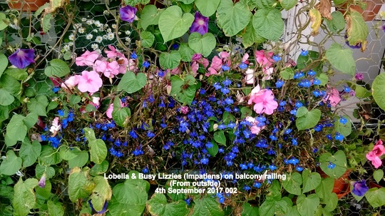 Lobelia & Busy Lizzies (Impatiens) on balcony railing (From outside) 4th September 2017 002