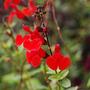 Salvia microphylla 'Royal Bumble' (Salvia microphylla)