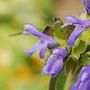 Salvia atrocyanea (Salvia atrocyanea)