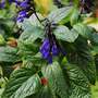 Salvia gauranitica 'Black and Bloom' (Salvia guaranitica)