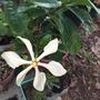 Gardenia vietnamensis - Vietnamese Gardenia (Gardenia vietnamensis - Vietnamese Gardenia)