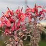 Lobelia tupa (Lobelia tupa (Devils Tobacco))