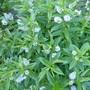 P1040932hebe_lilac