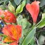 Alstroemeria 'Louis' (Alstroemeria)