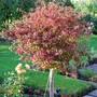 Prunus Kojo-No-Mai (Prunus incisa)
