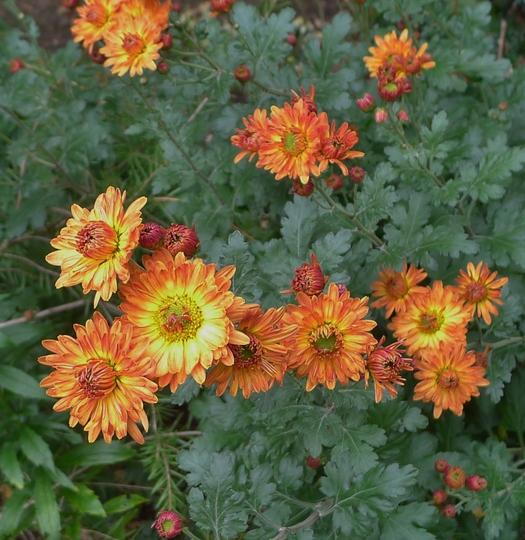 Chrysanthemum 'Apollo' - 2017 (Chrysanthemum)