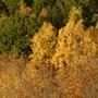 Fall Trees Maple