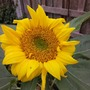 October 25th Sunflower (Helianthus annuus (Sunflower))