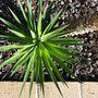 Yucca Aloifolia Pup (Yucca aloifolia (Dagger Plant))