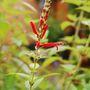 Salvia elegans (Salvia elegans (Pineapple Scented Sage))
