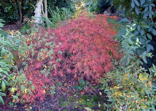 Acer palmatum disectum atropurpureum - 2017 (Acer palmatum)
