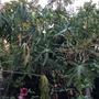 Burnt Papayas (Carica papaya) (Carica papaya)