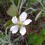 Wild raspberry (Rubus rosifolius (Mauritius Raspberry))