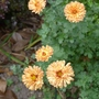 Chrysanthemum_bronze_elegance_2017