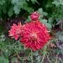 Chrysanthemum_chelsea_physic_garden_2017