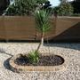 P1030967 (Yucca aloifolia (Dagger Plant))