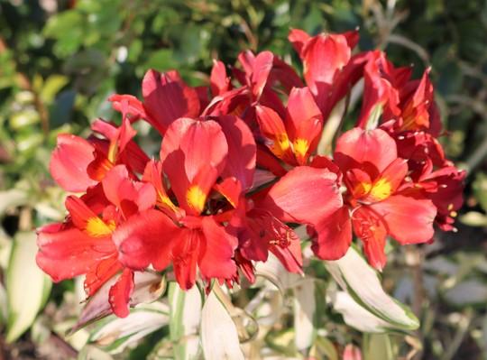 The last flowers of 'Rock N Roll' Alstoemeria (Alstroemeria 'Rock N Roll')