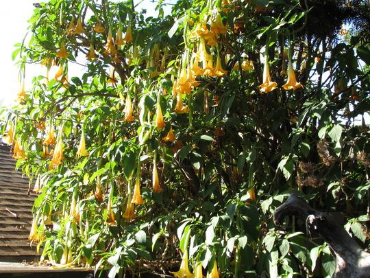 Cooler wetter weather suits Brugmansia. (Brugmansia suaveolens (Maikoa))