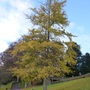Ginkgo tree shedding leaves in Autumn