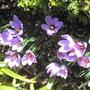 Saffron crocus ♪ (Crocus sativus (Saffron Crocus))