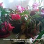 Christmas Cactus (Red & Pink) in living room window 15-12-2012 (Schlumbergera truncata)