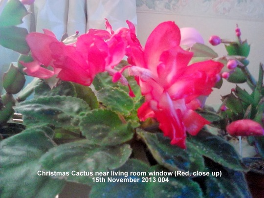 Christmas Cactus near living room window - Red (close up) 15-11-2013 004 (Schlumbergera truncata)