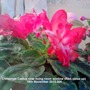 Christmas Cactus near living room window - Red (close up) 15-11-2013 004 (Schlumbergera truncata)