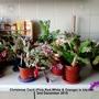 Christmas Cacti (Pink, Red, White & Orange) in kitchen 02-12-2015 (Schlumbergera truncata)