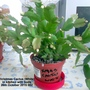 Christmas Cactus (White) in kitchen with buds 26-10-2015 002