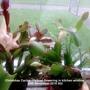 Christmas Cactus (Yellow) flowering in kitchen 20-11-2015 002