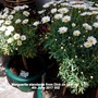 Marguerite standards from Dick on balcony 4th June 2017 002 (Argyranthemum frutescens)