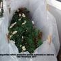 Marguerites within protective plastic surround on balcony 12th November 2017 (Argyranthemum frutescens)