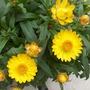 "helichrysum ""strawflower """