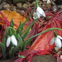 Snowdrops elwesii hiemalis