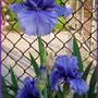 My favorite Iris - Full Tide