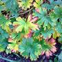 hardy geraninum (Geranium himalayense (Hardy geranium))