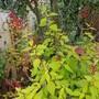 Salvia .... (Salvia Golden Delicious.)