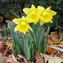 And then there were three (Narcissus 'Reinveld's Early Sensation')