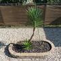 P1030981 (Yucca aloifolia (Dagger Plant))