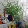 Spider plant on shelf in kitchen 15th November 2017 (Chlorophytum comosum)
