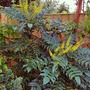 Mahonia flowers.... (Mahonia x media (Lily of the valley bush) Charity)