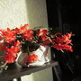 Schlumbergera truncata (schlumbergerata truncata)